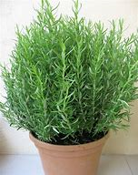 Rosemary`s active ingredients